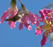 Hummingbird getting ready to feed Stock Image