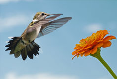 Hummingbird getting ready to feed Stock Images