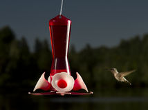 Hummingbird going to feed Stock Image