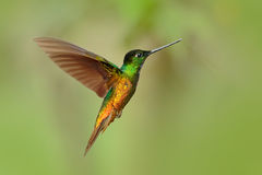 Hummingbird Golden-bellied Starfrontlet, Coeligena bonapartei, with long golden tail, beautiful action fly scene with open wings, royalty free stock image