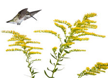 Hummingbird and a goldenrod Stock Image