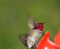 Hummingbird. Green Backed Anna's Hummingbird at a feeder Royalty Free Stock Photos