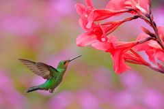 Hummingbird Green-crowned Brilliant, Heliodoxa jacula, green bird from Costa Rica flying next to beautiful red flower with pink bl stock image