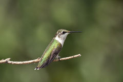 Hummingbird on a green out of focus background Royalty Free Stock Photos