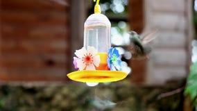Hummingbird - Green Throat Hummingbird and other_. Green Throat Hummingbird and other, feeding in a drinking trough stock video footage