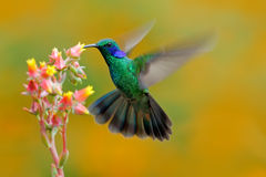 Hummingbird Green Violet-ear, Colibri thalassinus, fling next to beautiful ping orange yellow flower in natural habitat, bird from