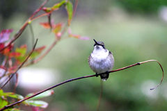 Hummingbird Guards Feeding Territory. Female Ruby-Throat Hummingbird stands guard on branch watching for intruders on her feeding area Royalty Free Stock Image