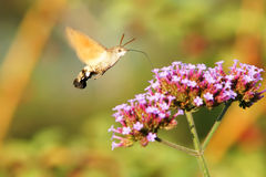 Hummingbird hawk-moth Royalty Free Stock Image
