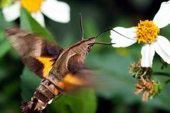 Hummingbird hawk-moth. Hovering over a flower (Macroglossum stellatarum Stock Images