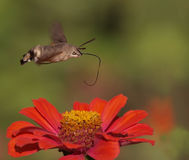 Hummingbird Hawk-moth. A Hummingbird Hawk-moth in flight, over a flower stock images