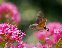 Hummingbird Hawk-moth. Nectaring on pink Valerian flower royalty free stock photography