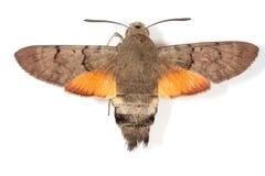 Hummingbird Hawk-moth. Macroglossum stellatarum, known as the Hummingbird Hawk-moth. Its hovering behavior make it look remarkably like a hummingbird Stock Image