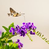Hummingbird hawk-moth Stock Photo