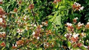 Hummingbird Hawk-Moth on Abelia Flowers 06 Slow Motion