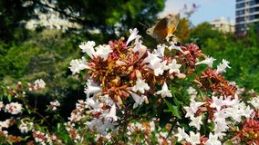 Hummingbird Hawk-Moth on Abelia Flowers 07 Slow Motion