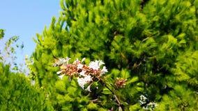 Hummingbird Hawk-Moth on Abelia Flowers 04 Slow Motion