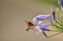 Hummingbird hawk moth Royalty Free Stock Photos