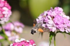 Hummingbird hawk moth. And beautiful flower royalty free stock photos