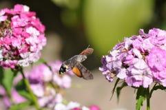 Hummingbird hawk moth. And beautiful flower royalty free stock photo