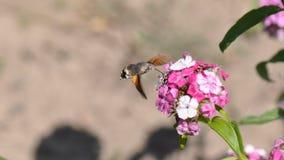 Hummingbird hawk moth. And beautiful flower royalty free stock photography