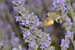 Hummingbird Hawk-moth butterfly in flight Royalty Free Stock Photo