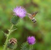 Hummingbird hawk-moth Royalty Free Stock Photography
