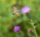 Hummingbird hawk-moth Royalty Free Stock Images