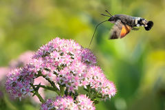 Hummingbird Hawk-moth Stock Photos