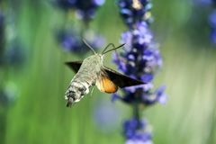 A Hummingbird Hawk-moth in flight, sucking nectar from a violet Levander. Stock Images