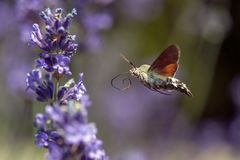 A Hummingbird Hawk-moth in flight, sucking nectar from a violet Levander. Royalty Free Stock Photography