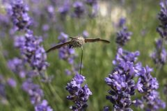 A Hummingbird Hawk-moth in flight, sucking nectar from a violet Levander. Royalty Free Stock Images