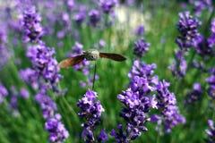 A Hummingbird Hawk-moth in flight, sucking nectar from a violet Levander. Royalty Free Stock Photos