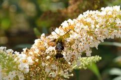 Hummingbird hawk-moth on a flower Stock Photography