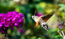 Hummingbird hawk-moth. Flying around the flowers stock photo