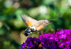 Hummingbird hawk-moth. Flying around the flowers stock photos