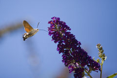Hummingbird hawk moth flying near blooming flower Stock Photography