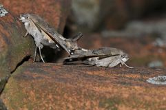 Hummingbird hawk moth. Having sex royalty free stock images