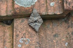 Hummingbird hawk moth. Having sex royalty free stock photo