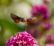 Hummingbird Hawk-moth head on Stock Photo