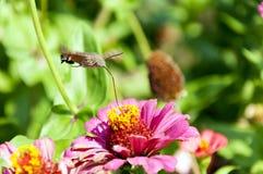 Hummingbird Hawk Moth Stock Photos