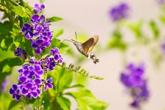 Hummingbird hawk-moth hovering Royalty Free Stock Photo