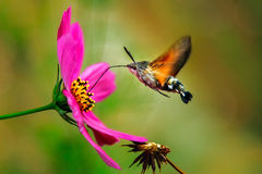 Hummingbird Hawk Moth. Hummingbird hawk-moth hovering over a flower Royalty Free Stock Photo