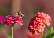 Hummingbird Hawk-moth. Hovering over flower royalty free stock image