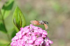 Hummingbird hawk moth. And beautiful flower royalty free stock images