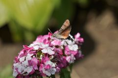 Hummingbird hawk moth. And beautiful flower royalty free stock photography