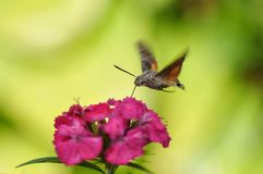 Hummingbird hawk moth. And beautiful flower stock photography