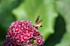 Hummingbird hawk moth. And beautiful flower stock image