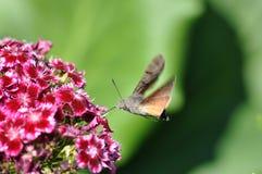 Hummingbird hawk moth. And beautiful flower stock photos