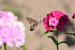 Hummingbird hawk moth. And beautiful flower royalty free stock images
