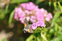 Hummingbird hawk moth. And beautiful flower stock images